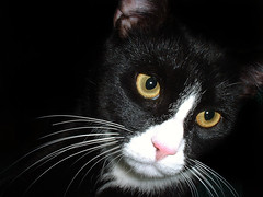 Black cat by the name of Bond (romeos115) Tags: white black green cat eyes whiskers pinknose