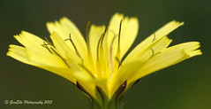 Yellow (GemElle Photography) Tags: summer flower macro yellow petals nikon head bloom gemelle blosson d3100 gemelle1 gemellephotography