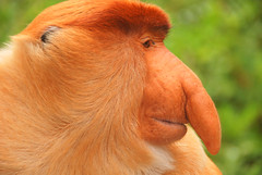Male Proboscis Monkey (Nasalis larvatus) Profile Portrait, Labuk Bay, Sabah, Malaysia (Damon Tighe) Tags: portrait male animal nose monkey bay asia southeastasia wildlife south east malaysia borneo primate sabah animalia mammalia proboscis primates proboscismonkey chordata nasique labuk cercopithecidae nasalislarvatus taxonomy:kingdom=animalia taxonomy:class=mammalia taxonomy:phylum=chordata nasalis larvatus mononarigudo longnosedmonkey  taxonomy:order=primates taxonomy:family=cercopithecidae taxonomy:binomial=nasalislarvatus taxonomy:species=larvatus taxonomy:genus=nasalis taxonomy:common=proboscismonkey taxonomy:common=longnosedmonkey taxonomy:common=nasique taxonomy:common=mononarigudo