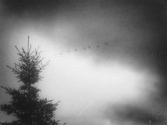 Line of Birds (Calgary, Canada. Gustavo Thomas  2013) (Gustavo Thomas) Tags: sky blackandwhite canada calgary nature monochrome lines birds edited atmosphere filter alberta ambience