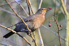 Blackbird (F) (ron.hindhaugh) Tags: bird nature berry nikon berries wildlife 500mm blackbird d800