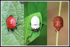 (Trio) cpia No sei quem  o primeiro, o branco  o Algocoris e o prximo  o Pachycoris torridus (wolfwalz) Tags: hemiptera scutelleridae Taxonomy:Class=insecta Taxonomy:Order=hemiptera Taxonomy:Kindon=animlia taxonomyphilumarthropoda