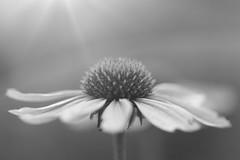 Nature (Sarah Joy Moore) Tags: flowers light sun macro nature sarah photography bush flora photographer bokeh details australian moore