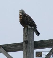 Rough-legged Hawk (Nick Scobel) Tags: river maple hawk michigan rough sga legged roughlegged buteo lagopus