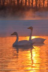 Pair. (sveta_altai) Tags: winter sunset lake bird landscape swan frost february закат россия туман лебеди altai зима птица озеро мороз февраль алтай лебедь иней росси