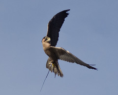 falcon in flight (utski7) Tags: show arizona renaissancefestival falconer valleyofthesun