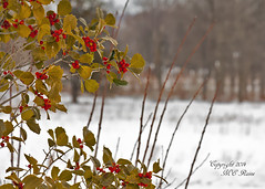 Winterscape View of Native Winterberry Holly at Duke Farms, Hillsborough, NJ (takegoro) Tags: trees winter plants snow ice nature landscape sanctuary naturepreserve winterscape winterberryholly dukefarms nj hillsborough