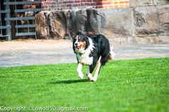 DogPlaying-March-2014_DSC86100040.jpg (orig_lowolf) Tags: usa dog playing bird oregon nikon lakeoswego georgerogerspark d300s sigmaaf150500mmf563apodgoshsm
