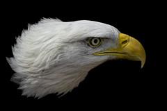Bald Eagle on Black_DSC5527 (DansPhotoArt) Tags: portrait usa bird nature fauna freedom eagle symbol wildlife profile baldeagle aves icon raptor brave strength americaneagle courage fisheagle passaros wbs worldbirdsanctuary d7100