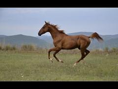 Camarn (PCB75) Tags: horse caballo cheval cavall cardona