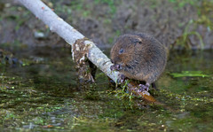 Water Vole - Arvicola terrestris feeds beside a stream. Uk (PANDOOZY PHOTOS) Tags: uk water rodent spring stream feeding vegetation brook vole feeds terrestris arvicola