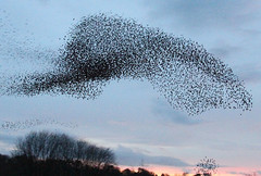 IMG_6370 (itchenbirds) Tags: starling winchester murmuration