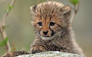 cheetah Beekse Bergen BB2A7869