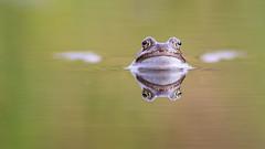 Bruine Kikker - Common Frog - Rana temporaria (Wim Boon (wimzilver)) Tags: wimzilver wimboon kikker bruine alblasserbos alblasserwaard nature nederland canon300mmf4lis14ex canoneos5dmarkiii reflectie reflection ranatemporaria commonfrog bruinekikker