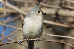 Tufted Titmouse 3-29-2017-11 (Scott Alan McClurg) Tags: animalia aves bbicolor baeolophus chordata neoaves neognathae neornithes paridae passeri passerida passeriformes animal bird bokeh flickrbirds forest life nature naturephotography perch perching portrait songbird spring suburbs titmouse tree tufted tuftedtitmouse wild wildlife yard delaware