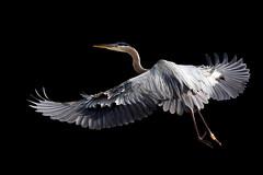 In Explore... Great Blue Heron (John's Love of Nature) Tags: greatblueheron