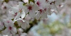 Joy! (ZieZoFoto.com Off line for a while) Tags: flowers nature blossoms bloesem printemps lente natuur bloemen happy serene dof nikon d5200 netherlands flora fleur light bokeh