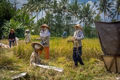 Bali ( Philippe L PhotoGraphy ) Tags: bali indonésie riz indonésiennes champs récolte