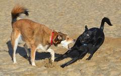 Growl (marloesopsomer) Tags: growl dog doggies dogs beach sand shocked