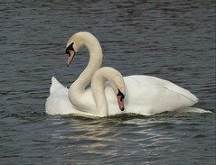 Wait until we get home, ah but me so horny (Peanut1371) Tags: muteswan swans birds water mating nationalgeographicwildlife