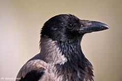 Cornacchia grigia _003 (Rolando CRINITI) Tags: cornacchiagrigia uccelli uccello birds ornitologia periprava deltadeldanubio ultimafrontiera tulcea natura romania
