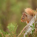 Red Squirrel - Peek a Boo (crittersnapper) Tags: redsquirrel scottishnature scottishwildlife