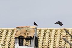 El freno (Ignacio M. Jiménez) Tags: ignaciomjiménez aves pajaros birds chimenea chimney tejado roof ubeda jaen andalucia andalusia españa spain