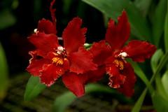 Odontioda Devilish Red (rolf_leon) Tags: odontioda odontoglossum oncidium orchideen orchids orchidées
