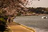 Walk in the blossom 桜の下のお散歩 (Shutter Chimp: Im back!) Tags: blossom tree lake japan ibaraki senba water mito people walk swan 水戸 茨城 千波湖 お散歩 歩く 人 湖 桜 日本 sakura 木