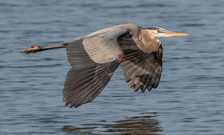 Heron Low Pass over Lake