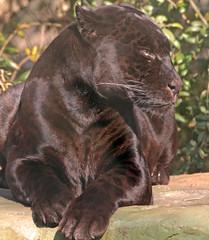 jaguar Mowgli artis BB2A8213 (j.a.kok) Tags: mowgli jaguar pantheraonca southamerica zuidamerika blackjaguar artis kat cat predator roofdier zoogdier animal dier