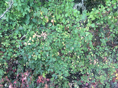 20150809--IMG_0745.jpg (r.mcminds) Tags: spermatophyte symphoricarposalbus plant eudicot symphoricarpos asterid angiosperm campanulids caprifoliaceae dipsacales commonsnowberry floweringplant corvallis oregon unitedstates us