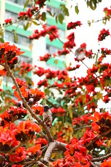 IMG_0278 - 彩雲邨 Choi Wan Estate (Mak_Ho) Tags: 木棉 bombaxceiba bombaxmalabaricum 英雄樹 彩雲邨 choiwanestate 九龍 kowloon香港 hongkong 攝影 photography 植物 vegetation 佳能 canon 700d 花 flower