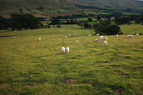 Sheep in the Vale of Edale