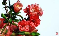 Les fleurs doubles du cognassier du Japon. (mamnic47 - Over 7 millions views.Thks!) Tags: cognassierdujapon chaenomeles 27032017 img3997