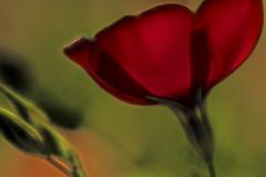 flower into light1 (photoman1012) Tags: nikon d 810 roundflash ringlight 1050mm 28 f18 1200 flower photoshop