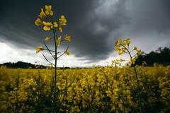 Contrasti (Davide Bon) Tags: colza campi friuli temporale storm yellow fields hill clouds spring thunderstorm contrast colour vsco nikon d7100 igersfvg rain