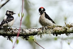 057 (2) Downy Display (srypstra) Tags: downywoodpeckers display