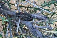 Jewel Beetle - ventral view (tinlight7) Tags: beetle insect jewelbeetle ventral desert sharjah uae taxonomy:kingdom=animalia animalia taxonomy:phylum=arthropoda arthropoda taxonomy:subphylum=hexapoda hexapoda taxonomy:class=insecta insecta taxonomy:subclass=pterygota pterygota taxonomy:order=coleoptera coleoptera taxonomy:suborder=polyphaga polyphaga taxonomy:infraorder=elateriformia elateriformia taxonomy:superfamily=buprestoidea buprestoidea taxonomy:family=buprestidae buprestidae ברקניתיים 비단벌레과 prachtkäfer bupreste metallicwoodboringbeetles jewelbeetles taxonomy:common=ברקניתיים taxonomy:common=비단벌레과 taxonomy:common=prachtkäfer taxonomy:common=bupreste taxonomy:common=metallicwoodboringbeetles taxonomy:common=jewelbeetles