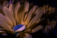 UV Fluorescence (ronnymariano) Tags: hillburn newyork unitedstates us singleflower color plants purple flower leaf beautyinnature botany everypixel backgrounds plant 2017 macro outdoors freshness flowerhead blossom petal colors nature closeup