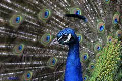 Peacock. (spw6156 - Over 5,500,406 Views) Tags: peacock iso 640cropped copyright steve waterhouse