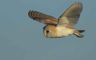 Barn owl a sunny afternoon