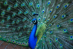 Percy on Display (San Francisco Gal) Tags: filoli percy peacock indianpeafowl bird phasianidae