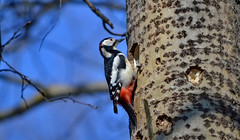 Great spotted woodpecker / Spring in Finland. Käpytikka. #9 (L.Lahtinen (nature photography)) Tags: bird birdonthetree greatspottedwoodpecker birdlife käpytikka nest pesä nature wildlife nikond3200 nikkor55300mm lintu finland suomi spring kevät flickr 100lintulajia naturephotography nikkor