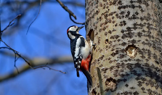 Great spotted woodpecker / Spring in Finland. Käpytikka.