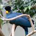 Great Blue Turaco (Corythaeola christata)  Riesenturako
