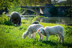Don't disturb please (Gorky1985) Tags: croatia kroatien sheep schaf landschaft landscape river karasica fluss green grass bridge animals lamb nikon nikkor 18105 d5300 wiese gat goran cosic colors brücke