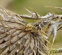 Larinioides cornutus , Orb-weaver (gailhampshire) Tags: larinioidescornutus orbweavertaxonomybinomiallarinioidescornutus