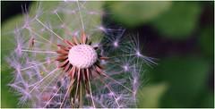 Dandelion clock. (A tramp in the hills) Tags: dandelion seeds