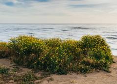 (ELMUNDOPORMISOJOS) Tags: nikond600 fullframe sandiego oceanbeach flowers ocean